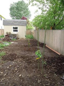 Sustainable Craig Dwarf Cherry Trees 1