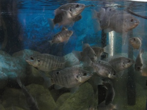 blue tilapia group