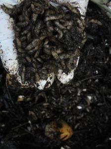 handfull of black soldier fly larvae