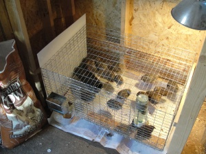 quail new cage
