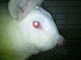 rabbit infected nose side view