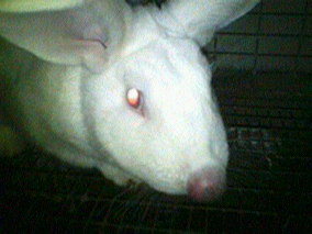 rabbit infected nose