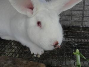 Rabbit_nose_scab
