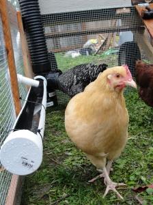 sustainable craig chicken coop water trough