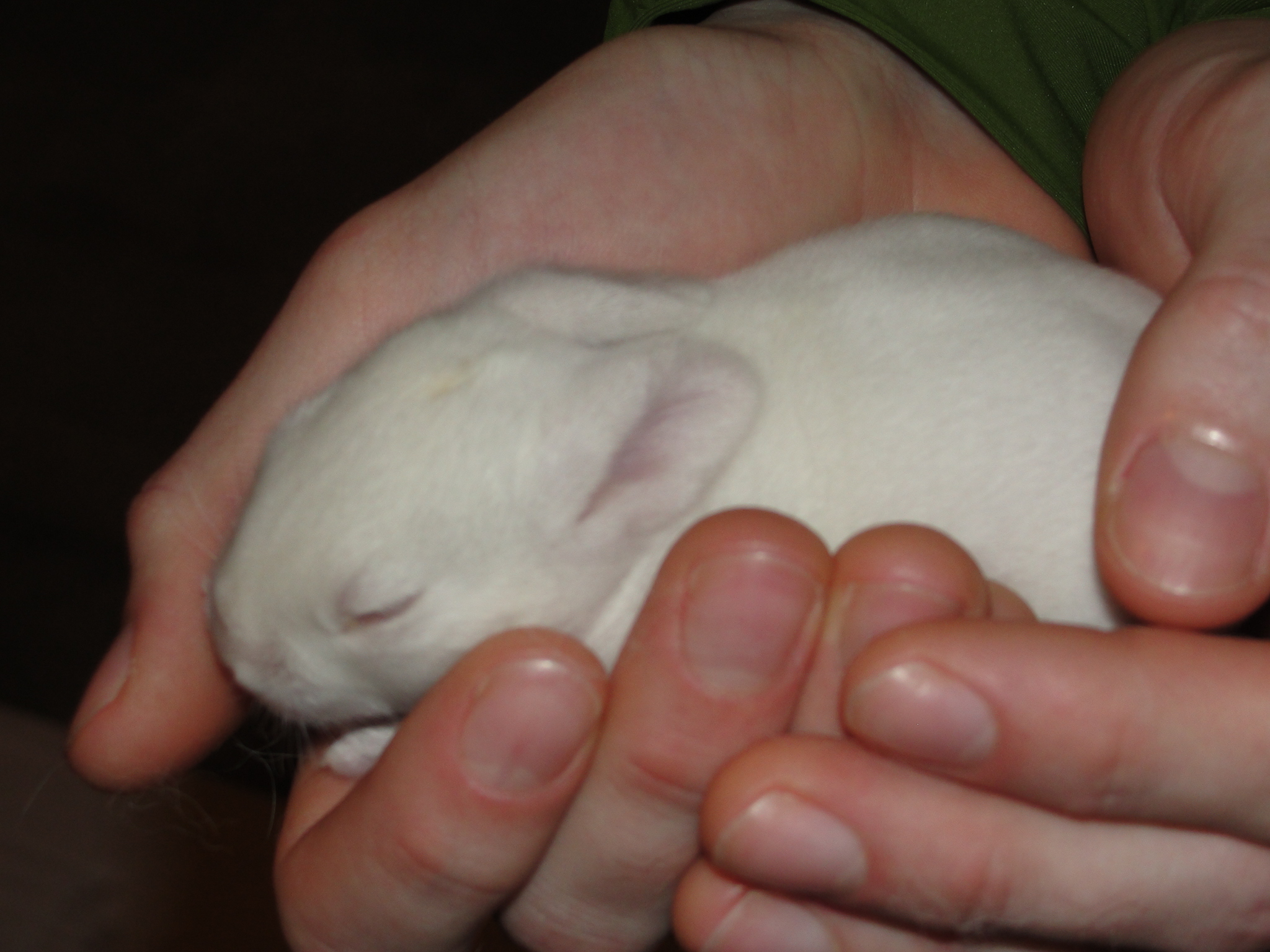 There are a total of 7 baby New Zealand White rabbits now at the
