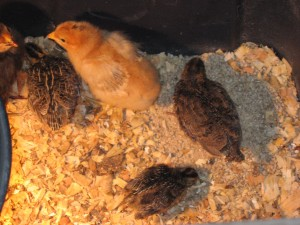 Baby chicks and quail