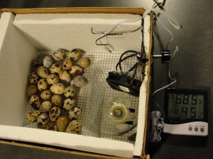 Inside the Quail Egg Incubator
