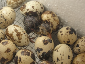 quail just hatched
