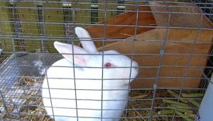 pregnant rabbit with nesting box