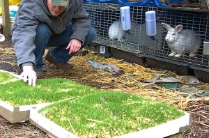 wheat fodder experiment 2