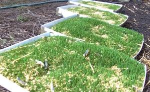 wheat fodder experiment