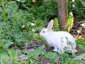 Releasing rabbits into my yard