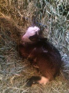 Baby Kiko Goat 1