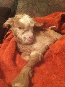 Baby Kiko Goat 2
