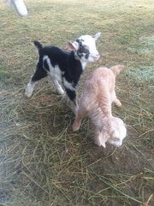 Baby Kiko Goats