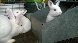 Baby New Zealand White Rabbits 1