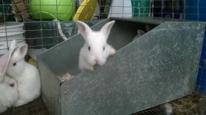 Baby New Zealand White Rabbits 3