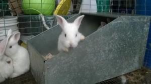 Baby New Zealand White Rabbits 3