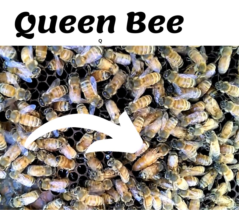 Queen Bee highlighted